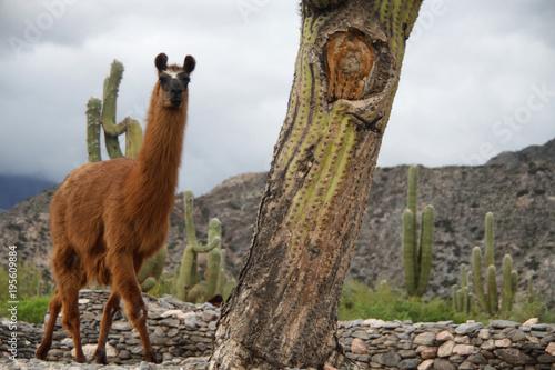 Poster Lama samotna lama wsród kaktusów w dolinie Quebrada de Humahuaca w argentynie