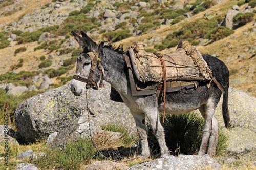 Packesel in der Sierra de Gredos in Spanien