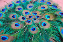 Fanned Peacock Feathers