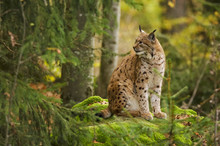 Eurasian Lynx, Lynx Lynx, Big ...