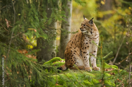 Spoed Foto op Canvas Lynx Eurasian Lynx, Lynx lynx, big predator, Bavarian forest National Park, Germany