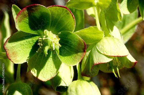 Fotografiet  elleboro verde helleborus viridis parco regionale frignano modena emilia romagna