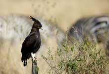 Long-crested Eagle Perched On ...