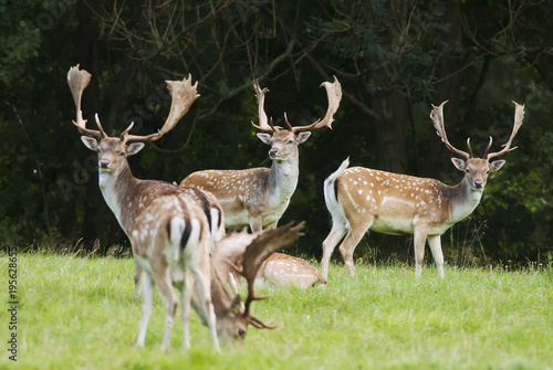 Fotobehang Ree Fallow Deer,Dama dama, herbivore, herd, Czech republic, Europe
