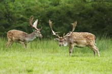 Fallow Deer,Dama Dama, Herbivo...