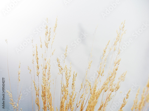 Wheat against white background Canvas Print