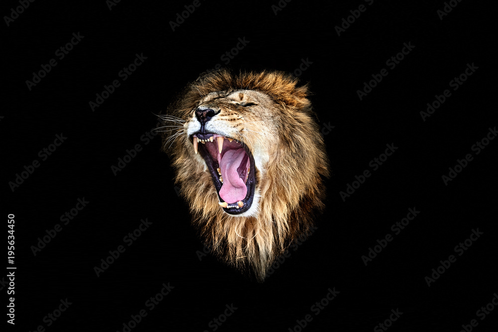 the lion roar, lion roar, lion portrait
