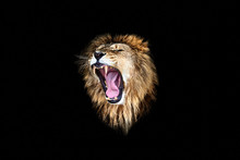The Lion Roar, Lion Roar, Lion...