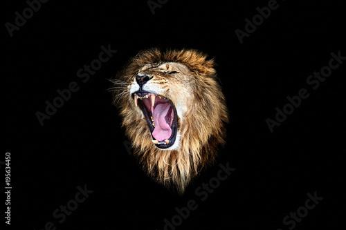 Foto op Plexiglas Leeuw the lion roar, lion roar, lion portrait