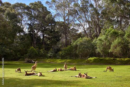 Fotobehang Kangoeroe Resting kangaroos
