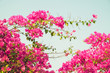 canvas print picture - Bougainvillea Blooming