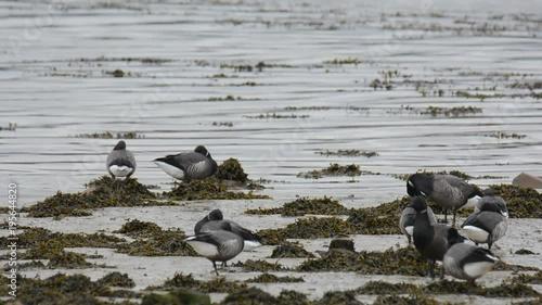 Oies Bernaches cravant sur la côte bretonne en hiver