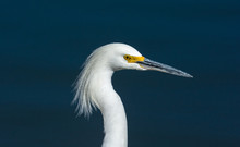 Great Egret Plumage