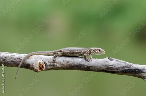 A Lizard On A Branch (Lacerta Agilis). Close-Up.