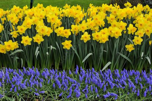 Papiers peints Narcisse As cores do narciso variam entre o amarelo e o branco. Floresce no princípio da primavera tem normalmente seis pétalas com um funil central amarelo contendo os estames e o estigma.