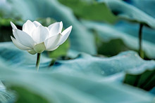 Blooming White Lotus Flower Wi...