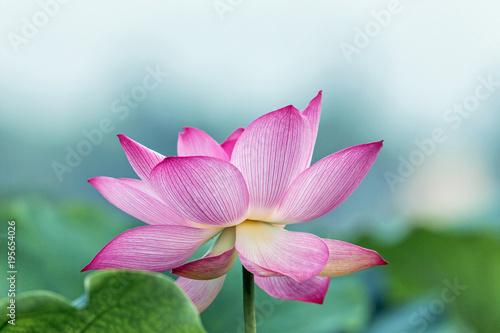 Foto op Canvas Lotusbloem blooming pink lotus flower