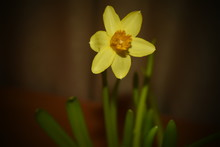 Yelow Daffodil Mini