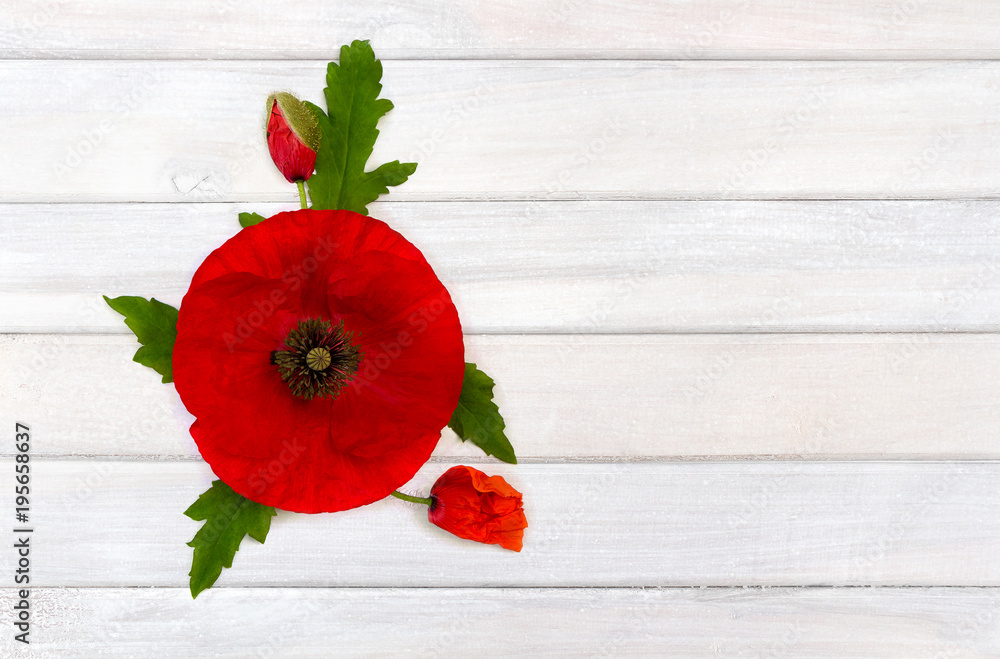 Flower red poppies (Papaver rhoeas, common names: corn poppy, corn rose, field poppy, red weed) on background of white painted wooden planks. Top view, flat lay.