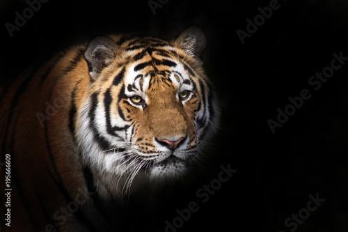 Foto op Aluminium Tijger Tiger