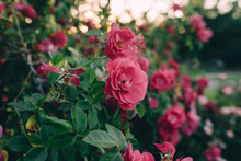 Roses In A Garden At Sunset