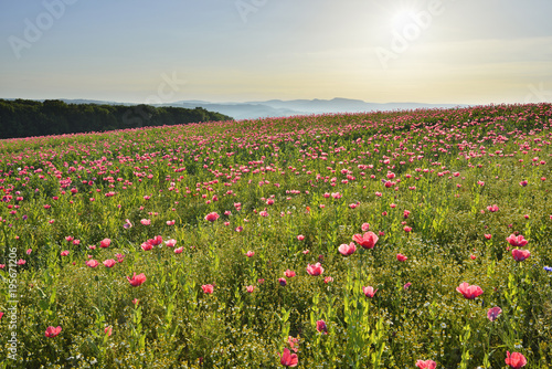 Opium Poppy Field (Papaver somniferum) with Morning Sun, Germerode, Hoher Meissner, Werra Meissner District, Hesse, Germany