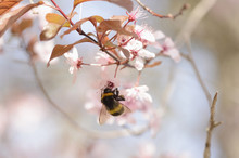 Tree Bumblebee On Cherry Plum Blossom In Spring