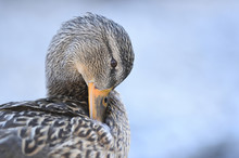 Close-up Portrait Of A Mallard...