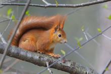 Close-up Portrait Of Red Squirrel (Sciurus Vulgaris) Sitting On Tree Branch In Early Spring, Hesse, Germany