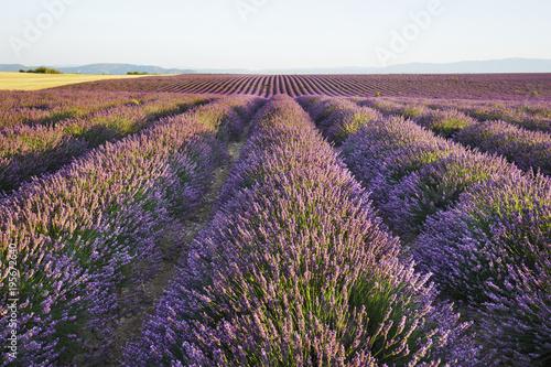 Lavender Field (Lavandula), Plateau de Valensole, Alpes-de-Haute-Provence, Provence, Provence-Alpes-Cote d'Azur, France