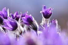 Spring Violet Flowers On A Meadow, Pasque Flower (pulsatilla Grandis)