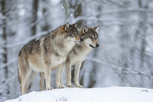 Two Wolves (Canis Lupus) In Wi...