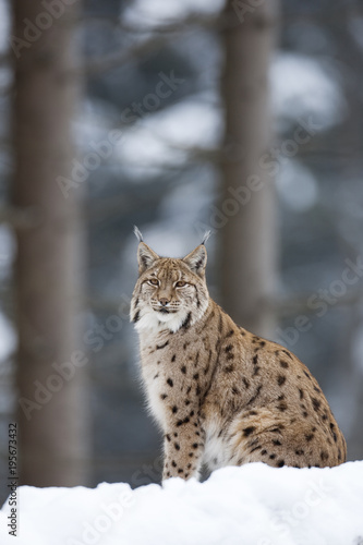 Foto op Plexiglas Lynx Portrait of European Lynx (Lynx lynx) in winter, Nationalpark Bayerischer Wald, Bavarian Forest National Park, Germany