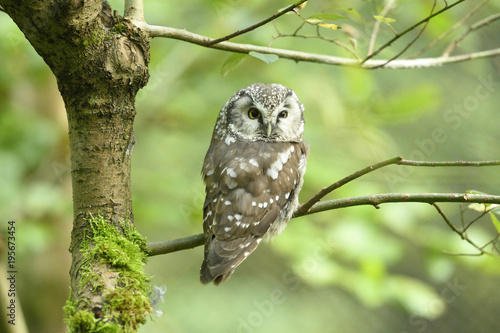 Foto op Canvas Uil Close-up of a boreal owl (Aegolius funereus) sitting on tree branch in autumn, Bavarian Forest National Park, Bavaria, Germany