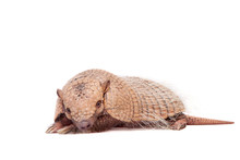 Six-banded Armadillo On White