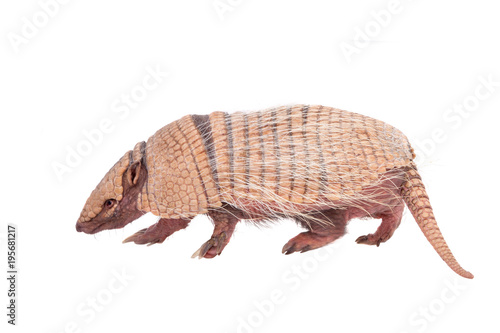 Six-banded armadillo on white Canvas Print