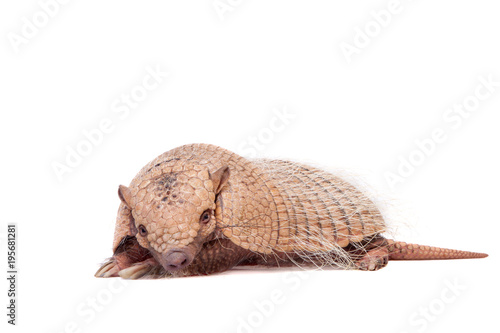 Six-banded armadillo on white Wallpaper Mural