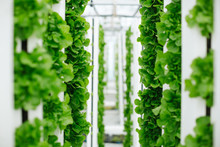 Lettuce And Greens Grown Vertically And Sustainably Using Aquapo