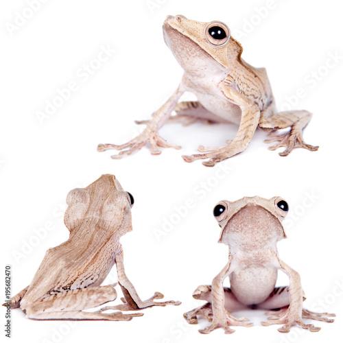 Borneo eared frog on white background Wallpaper Mural