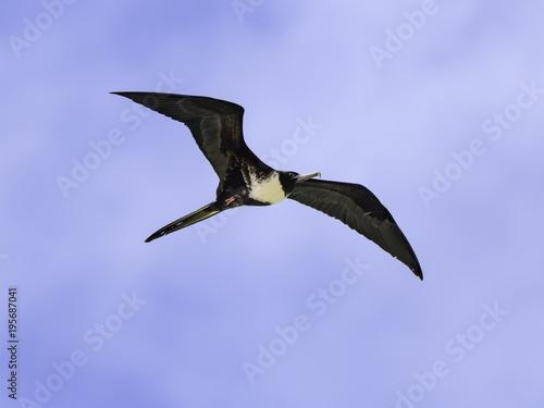 Magnificent Frigatebird in Flight on Blue Sky Canvas Print