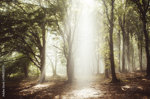 Sun rays shining trough enchanted forest with fog
