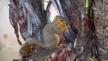 HD Fox Squirrel Eating Juicy Leaf Sitting Near Trunk Of Palm. Other Names Are Eastern Fox Squirrel Or Bryant's Fox Squirrel.