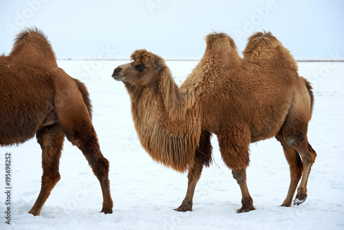 Deurstickers Kameel Bactrian camels (Camelus bactrianus) in winter. The Bactrian camel is a large, even-toed ungulate native to the steppes of Central Asia.