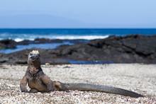 Galapagos Marine Iguana (Ambly...