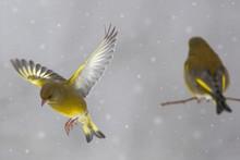 Verdone Comune (Chloris Chloris) Sotto La Nevicata
