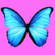 canvas print picture - beautiful blue butterfly on a pink background. square cropping