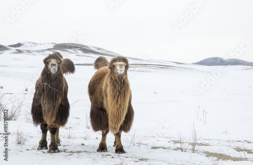 bactrian camels walking in a the winter landscape of Mongolia