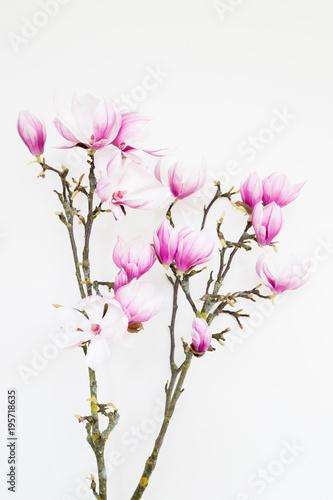 Foto op Plexiglas Magnolia Magnolia flower blooming