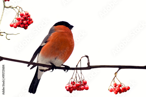 Fotografía Red-breasted handsome bullfinch among berries of red mountain ash