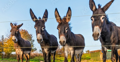 A lovely donkey family on the pasture with electric fence on a sunny autumn day in October at Marburg in Germany.